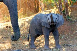 Afrika Erfahren, Südafrika Selbstfahrer Familienreise, Elefantenbaby