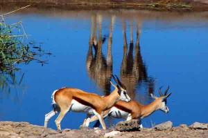 Etosha, Impalas und Giraffenspiegel, Namibia, Mietwagenreise