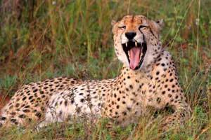 Afrika Erfahren, Mietwagenreise, Südafrika, Krüger Nationalpark, Gepard