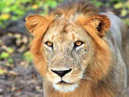 Afrika Erfahren, Südafrika Reise für Selbstfahrer, Highlights, Löwe