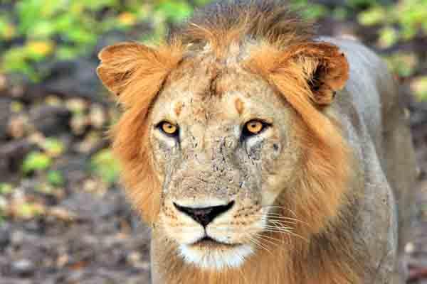 Afrika Erfahren, Südafrika Selbstfahrer Rundreise, Löwe