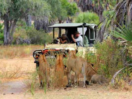 Löwen auf Safari 600x400 klein