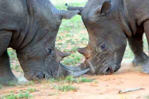 Nashorn Auge in Auge, Krüger Nationalpark, Südafrika, Selbstfahrerreise, Afrika Erfahren