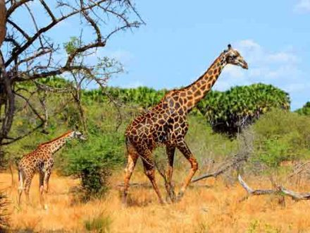 Afrika Erfahren, Mietwagen Reisen, Südafrika, Giraffen, Krüger Nationalpark