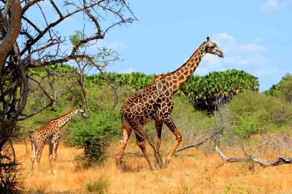 Afrika Erfahren, Mietwagen Reisen, Südafrika, Giraffen