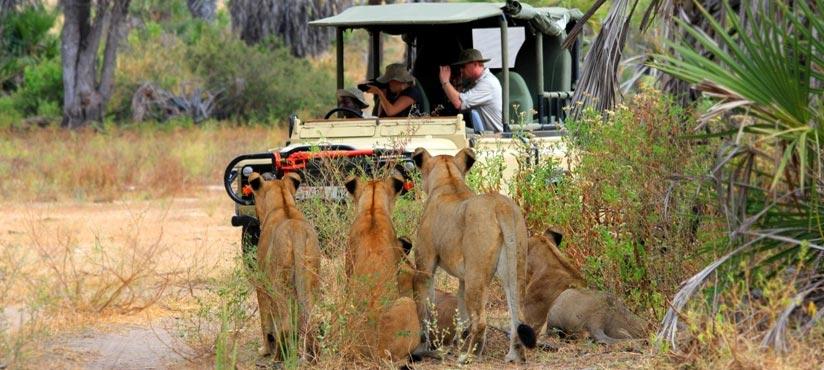 Afrika Erfahren, Selbstfahrerreise, Löwen, Safari