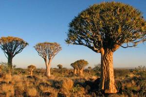 Afrika Erfahren, Namibia Wanderreise für Selbstfahrer, Köcherbaumwald