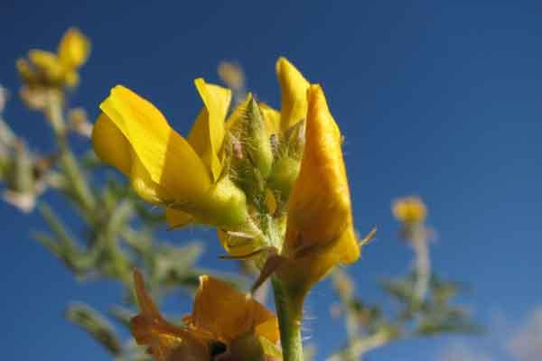 Tok Tokkie Wanderung Blume