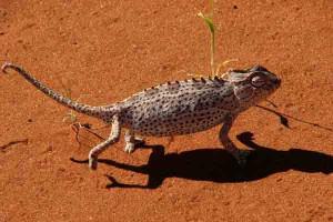 Afrika Erfahren, Namibia, Tok Tokkie Wanderung, Chamäleon