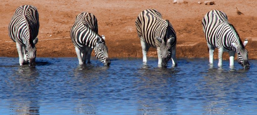 Afrika Erfahren, Namibia, Selbstfahrerreise, Zebras, Wasserloch