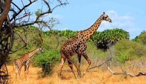 Afrika Erfahren, Südafrika Mietwagenreisen, Giraffen, Krüger Nationalpark