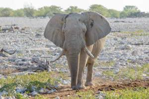Afrika Erfahren, Namibia Rundreise Mietwagen, Etosha, Elefant am Okaukuejo Wasserloch
