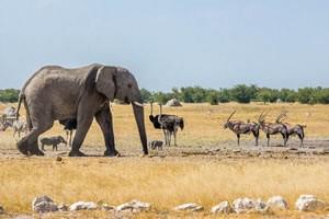 Afrika Erfahren, Namibia Rundreise Mietwagen, Etosha, Elefant mit Straus und Oryx