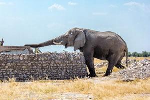 Afrika Erfahren, Namibia Rundreise Mietwagen, Etosha, Elefant trinkt am Wasserloch
