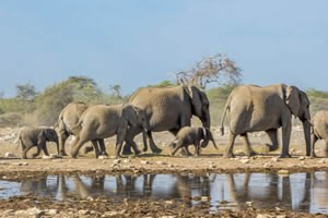 Afrika Erfahren, Namibia Rundreise Mietwagen, Etosha, Eefanten laufen zum Wasserloch