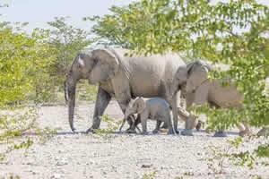 Afrika Erfahren, Namibia Rundreise Mietwagen, Etosha, Elefanten mit Baby