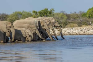 Afrika Erfahren, Namibia Rundreise Selbstfahrer, Etosha Nationalpark, Elefanten trinken am Wasserloch