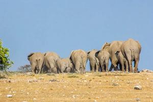 Afrika Erfahren, Namibia Rundreise Mietwagen, Etosha, Elefanten von hinten