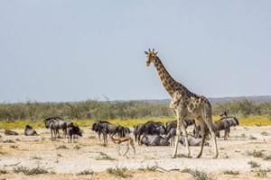 Afrika Erfahren, Namibia Rundreise Mietwagen, Etosha Nationalpark, Giraffe und Gnus