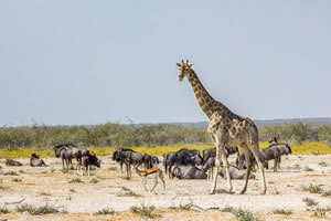 Afrika Erfahren, Namibia Rundreise Mietwagen, Etosha, Giraffe und Gnus