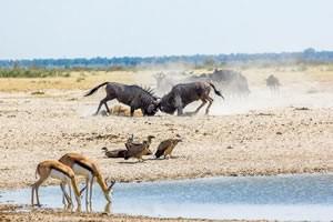 Namibia Rundreise Mietwagen, Etosha, Gnus und Springboks am Wasserloch