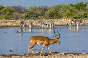 Namibia Rundreise Mietwagen, Etosha, Impala und Zebras am Wasserloch