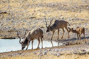Afrika Erfahren, Namibia Rundreise Mietwagen, Etosha, Kudu am Wasserloch