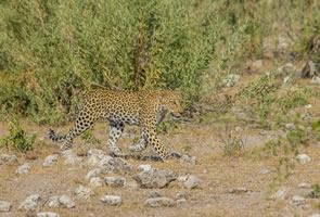 Afrika Erfahren, Namibia Safari, Etosha Nationalpark, Leopard