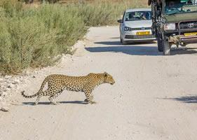 Afrika Erfahren, Namibia Rundreise Mietwagen, Etosha, Leopard kreuzt Strasse