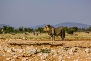 Afrika Erfahren, Namibia Rundreise Mietwagen, Etosha, Löwe am Wasserloch