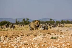 Namibia Rundreise Mietwagen, Etosha, Löwe am Wasserloch