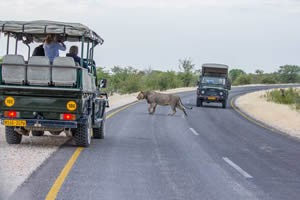 Afrika Erfahren, Namibia Rundreise Mietwagen, Etosha, Löwe und Safari Fahrzeug
