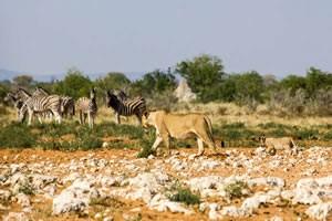 Afrika Erfahren, Namibia Rundreise Mietwagen, Etosha, Löwin mit Baby