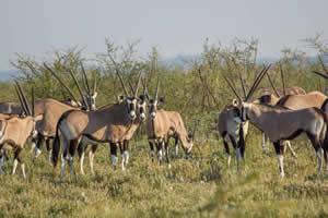 Afrika Erfahren, Namibia Rundreise Mietwagen, Etosha, Oryx Antilopen