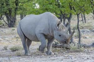 Namibia Rundreise Mietwagen, Etosha, Spitzmaul Nashorn