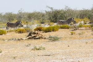 Afrika Erfahren, Namibia Rundreise Mietwagen, Etosha, Tote Giraffe