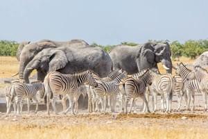 Afrika Erfahren, Namibia Rundreise Mietwagen, Etosha, Zebra und Elefant am Wasserloch