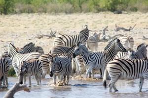 Afrika Erfahren, Namibia Rundreise Selbstfahrer im Etosha Nationalpark, Zebras am Wasserloch