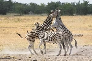 Afrika Erfahren, Namibia Rundreise Selbstfahrer im Etosha Nationalpark, Zebras kämpfen