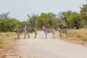 Afrika Erfahren, Namibia Rundreise Mietwagen, Etosha, Zebras kreuzen Strasse