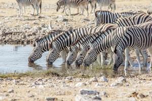 Afrika Erfahren, Namibia Rundreise Selbstfahrer, Etosha Nationalpark, Zebras trinken