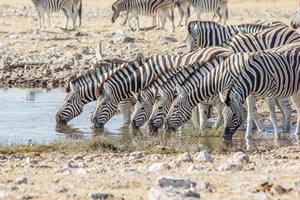 Afrika Erfahren, Namibia Rundreise Mietwagen, Etosha, Zebras trinken