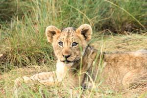 Löwe, Löwenbaby, Südafrika, Mietwagenreise, Garden Route Selbstfahrer, Afrika Erfahren