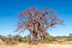 Afrika Erfahren, Botswana Rundreise Mietwagen Okavango Delta, Affenbrotbaum