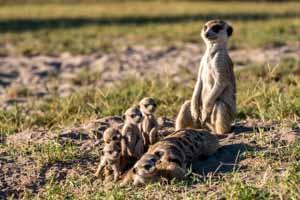 Afrika Erfahren, Botswana Rundreise Selbstfahrer Okavango Delta, Erdmännchen Familie