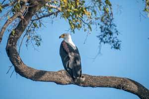 Afrika Erfahren, Botswana Safari, Okavango Delta, Fish Eagle