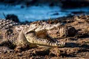 Afrika Erfahren, Botswana Safari, Okavango Delta, Krokodil