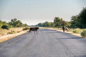 Afrika Erfahren, Botswana Rundreise Selbstfahrer ums Okavango Delta, Kühe auf der Strasse