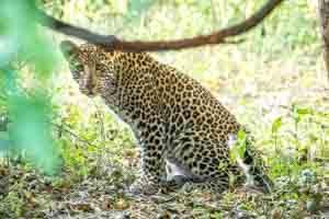 Afrika Erfahren, Botswana Safari, Okavango Delta, Leopard