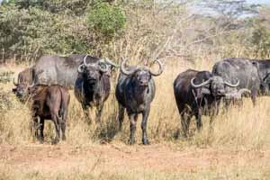 Afrika Erfahren, Namibia Safari, Okavango Delta, Büffel